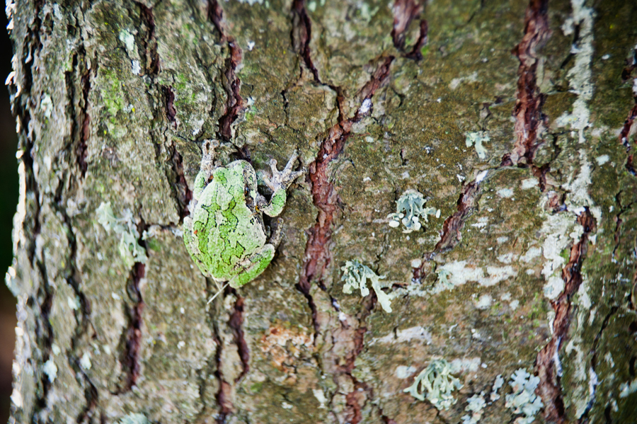 Tree frog attached to the bark of a pine tree.