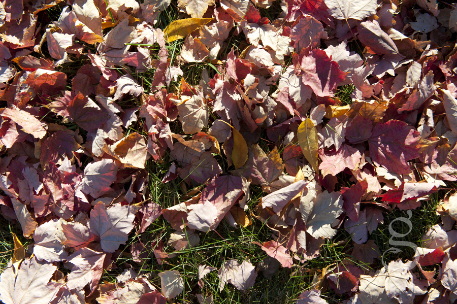 A carpet of red maple leaves and yellow on the last green grass of fall.
