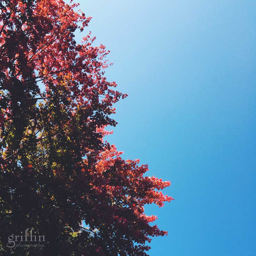 Red maple leaves against a clear blue sky.