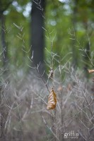 leaf caught up in the dried grass of summer.