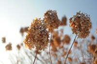 Dried flowers being caught by the Wisconsin sunset.